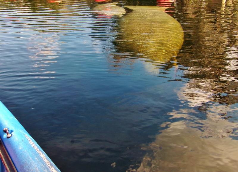 MANATEE KAYAK TOURS ORLANDO BLUE SPRINGS STATE PARK